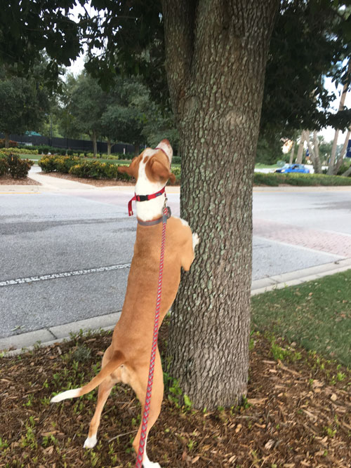 Ellie trying to chase a squirrel up a tree!